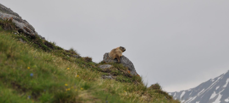 _THEMES, alpenmurmeltier, alpine marmot, animal, marmot, murmeltier, natur, nature, säugetiere, tier