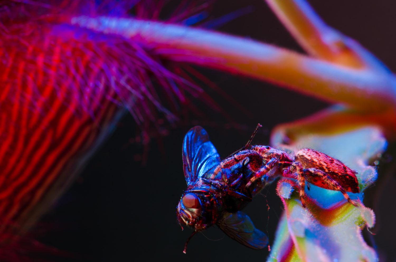 _THEMES, aasblume, activity, aktivität, animal, arachnids, blume, carrion flower, colour filter, eating, farbfilter, fliege, flower, fly, fressen, insects, insekten, licht, light, macro, makro, natur, nature, pflanzen, plants, spider, spinne, spinnentiere, tier