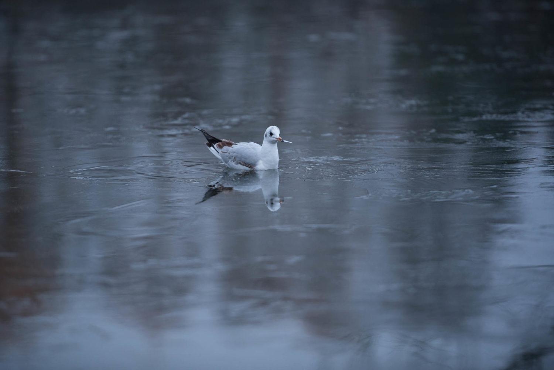 Eine Möwe auf einem leicht gefrohrenen See, mit einem Stück Eis im Schnabel. Was sie wohl damit vor hat? Sie hat etwas friedliches an sich, schwimmend, hin und wieder am Eis pickend und gelassen zuschauend.